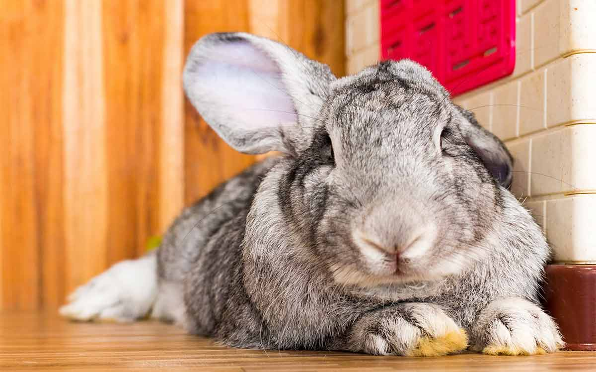 conejo gigante continental gris adulto