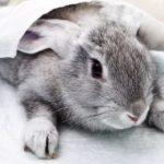 Enfermedad hemorrágica del conejo y su tratamiento