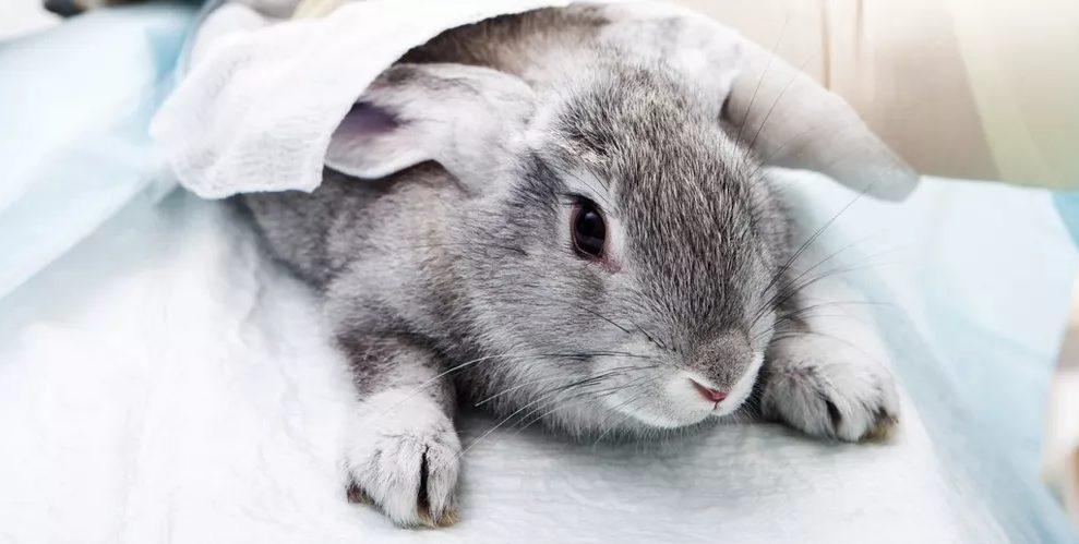 enfermedad hemorragica del conejo