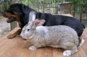 conejo gigante continental comparación de tamaño con perro