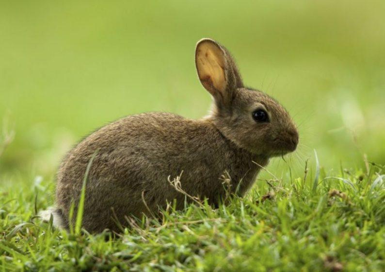 ojos llorosos en conejos causas y tratamientos