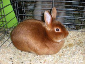 conejo satin rojo