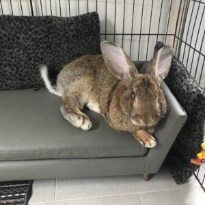 conejo gigante continental en el sofa