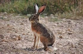 liebre y conejos