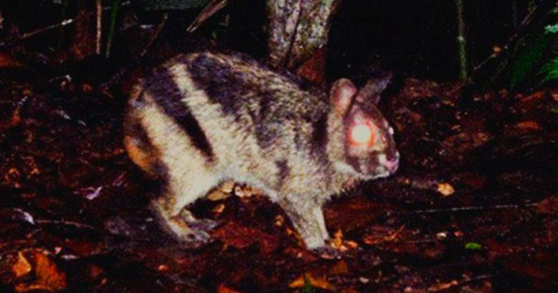 conejo rayado de sumatra