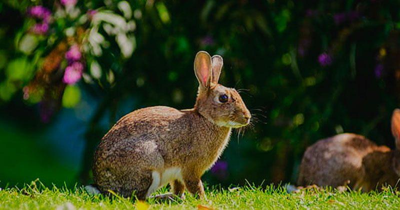 raza conejo europeo