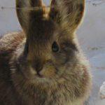 Conejo Pigmeo, datos que debes saber