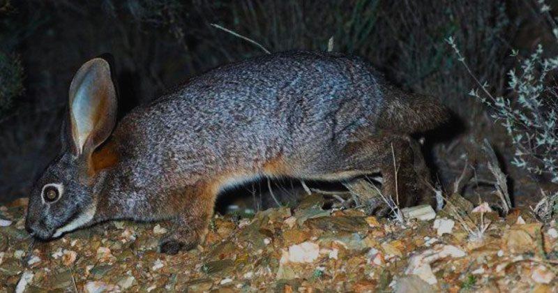 raza de conejo ribereño de Sudáfrica