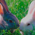 Especies de conejos en peligro de extinción