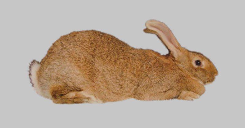 raza conejo gigante de españa