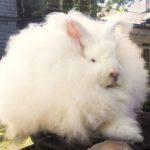 Las 7 razas de conejos con más pelo