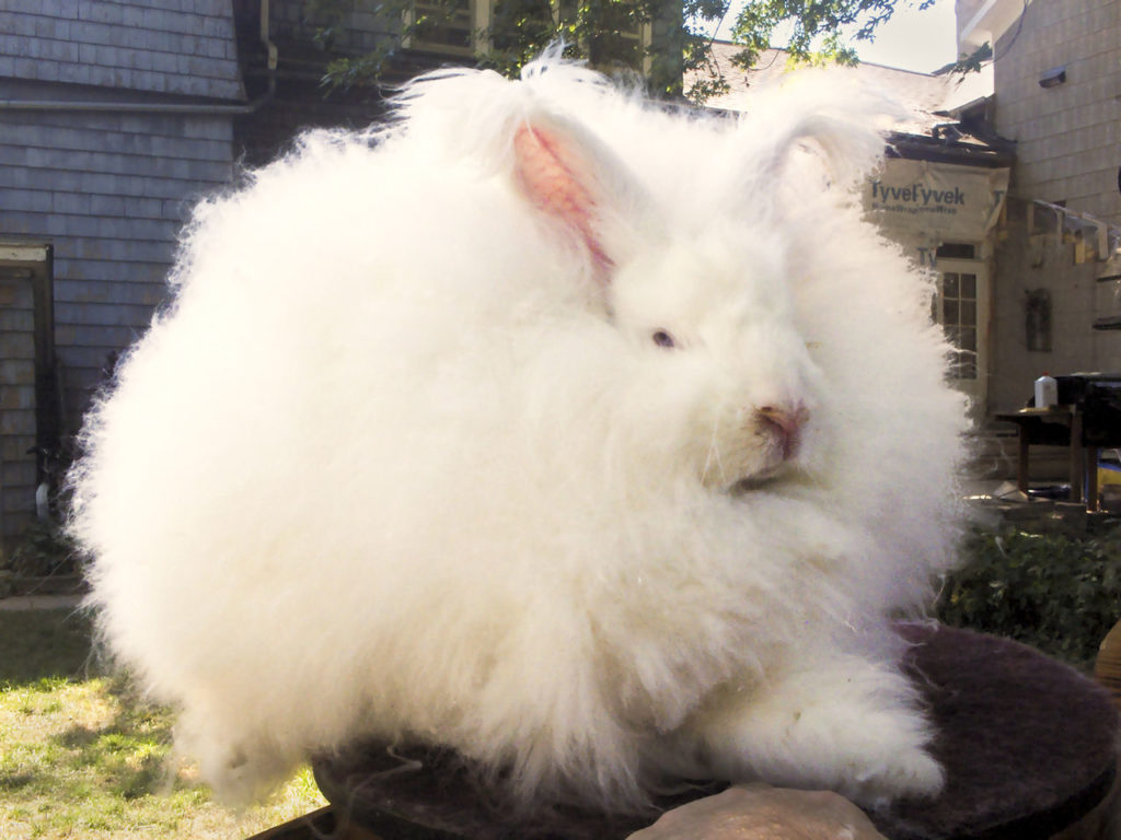 conejo angora gigante