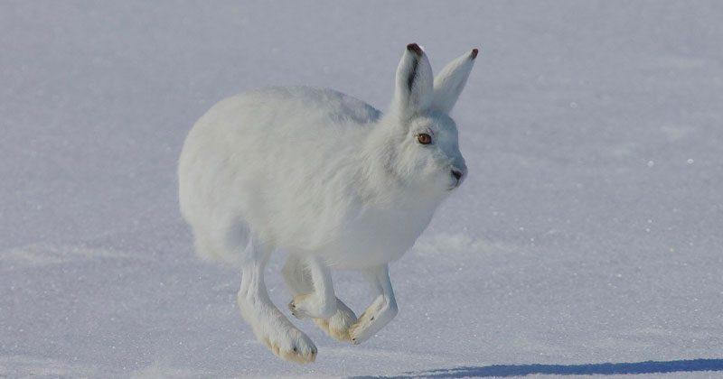 conejo liebre del artico
