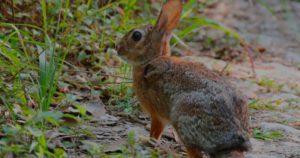 conejo del desierto