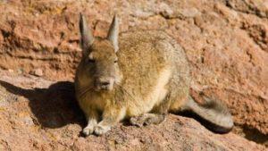 raza de conejo chinchilla gigante