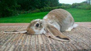 raza conejo gigante ingles