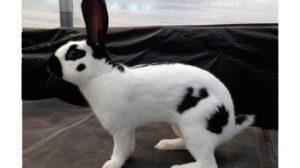 raza de conejo gigante moteado