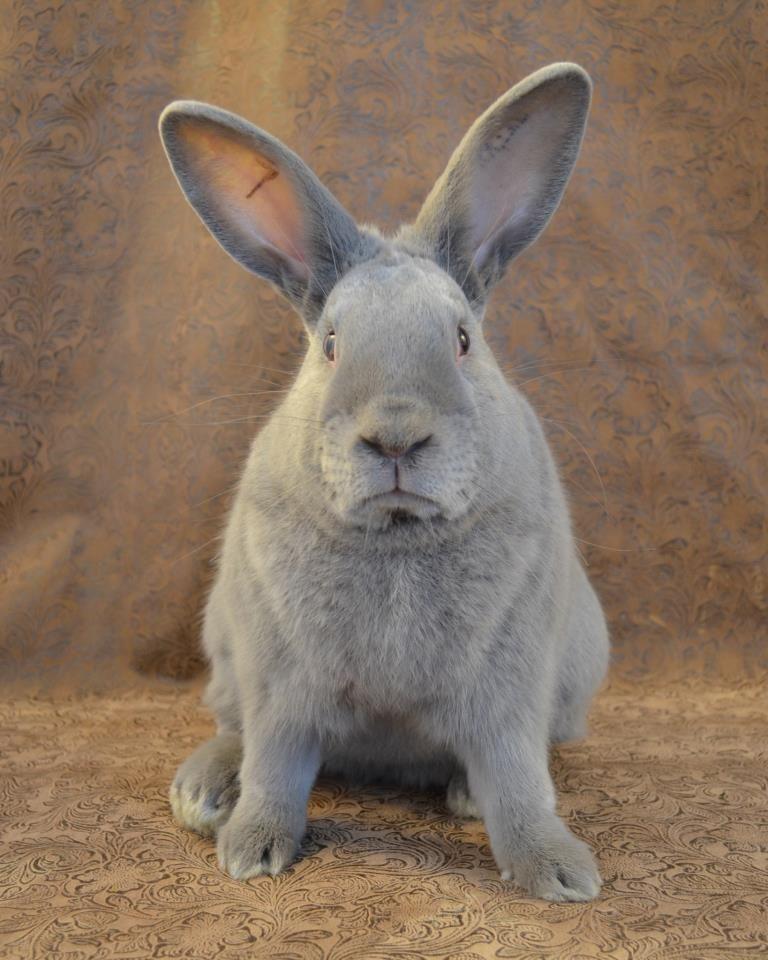 raza de conejo lilac