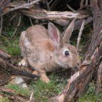 Cuanto tiempo vive un conejo?